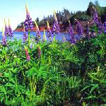 Lupine in bloom along Bay Fortune, PEI