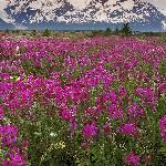 Fields of Vetch, Alsek River Valley, British Columbia, Canada.jpg