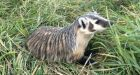 Beastly baby badger learns the ropes from costumed caregivers