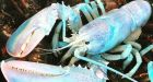 Lucky the translucent lobster may be 1 in 100 million