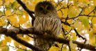More barred owl sightings in Vancouver bad news for rats and mice