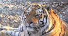 Russia's 'fairy tale' Siberian tigers beating long odds for a comeback
