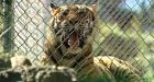 Pet tiger faces eviction from Highlands, B.C., property
