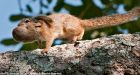 Mother carries baby squirrel back to the nest coiled into a tiny ball