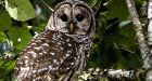 Shooting of owls OK'd to protect endangered species