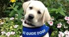 Updated Guide Dog and Service Dog Act targets fraudulent pooches